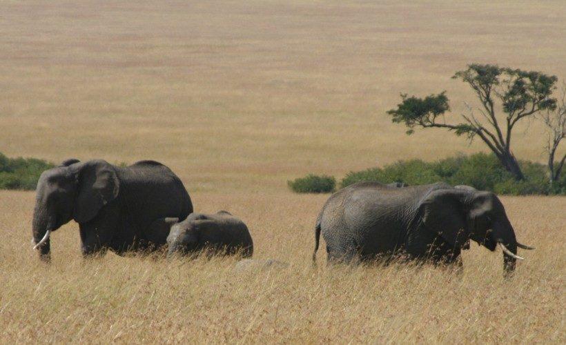 elephants-mara