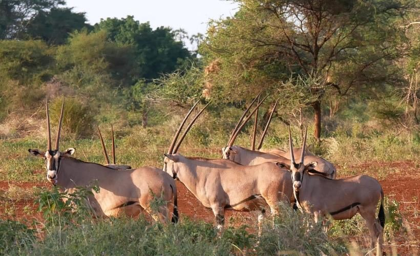 Oryx-at-Samburu